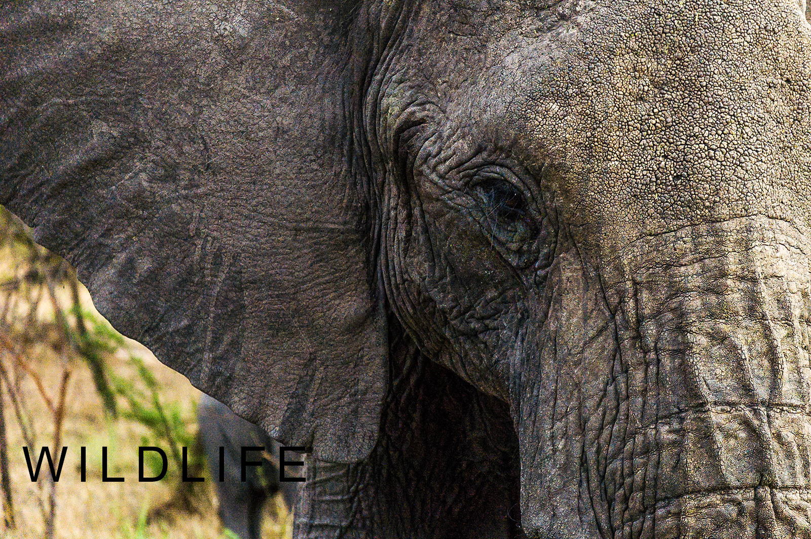 African Elephant Up Close