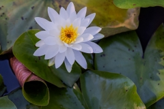 Delicate Water Lily. Kenilworth Park and Aquatic Gardens