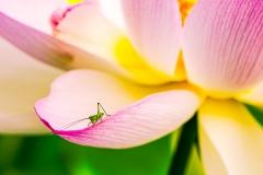 Small Grasshopper on a Big Flower