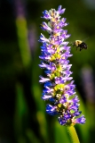 Bumble Bee on Loosestrife