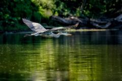 Watchful Great Blue Heron