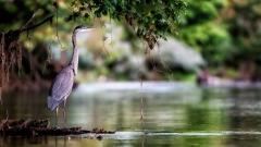 Reclusive Great Blue Heron