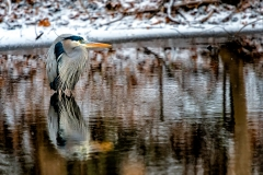 Chilly Great Blue