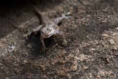Lizard (unknown species)