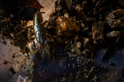 F1103-558-IWL-North-Patuxent-Crayfish-in-the-Mix