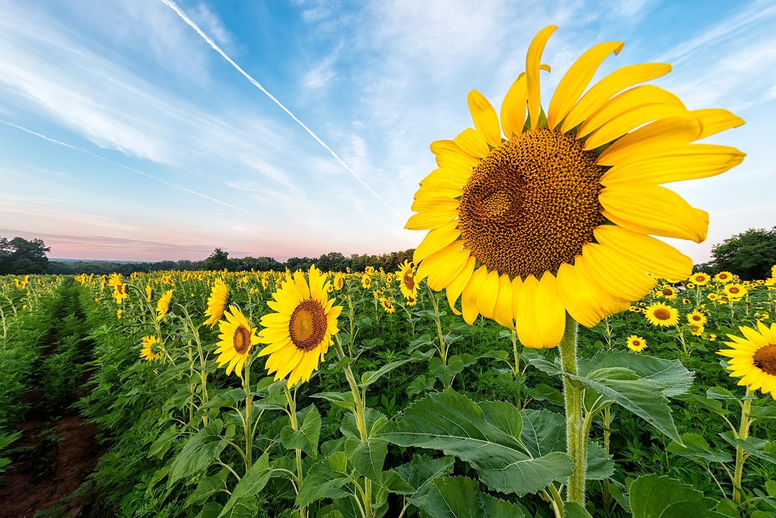 Field of Sunflowers at Dawn. McKee-Beshers Wildlife Management Area