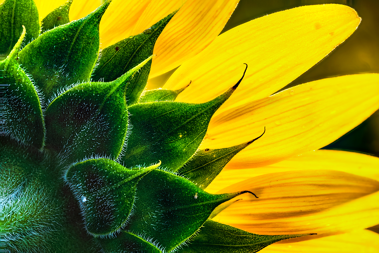 Sunflower from the Back. McKee-Beshers Wildlife Management Area