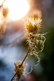 Winter Sunset Thistle