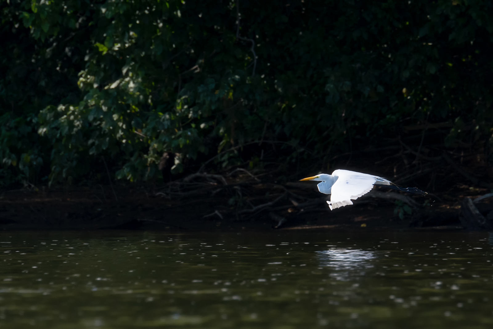 Gliding Great Egret