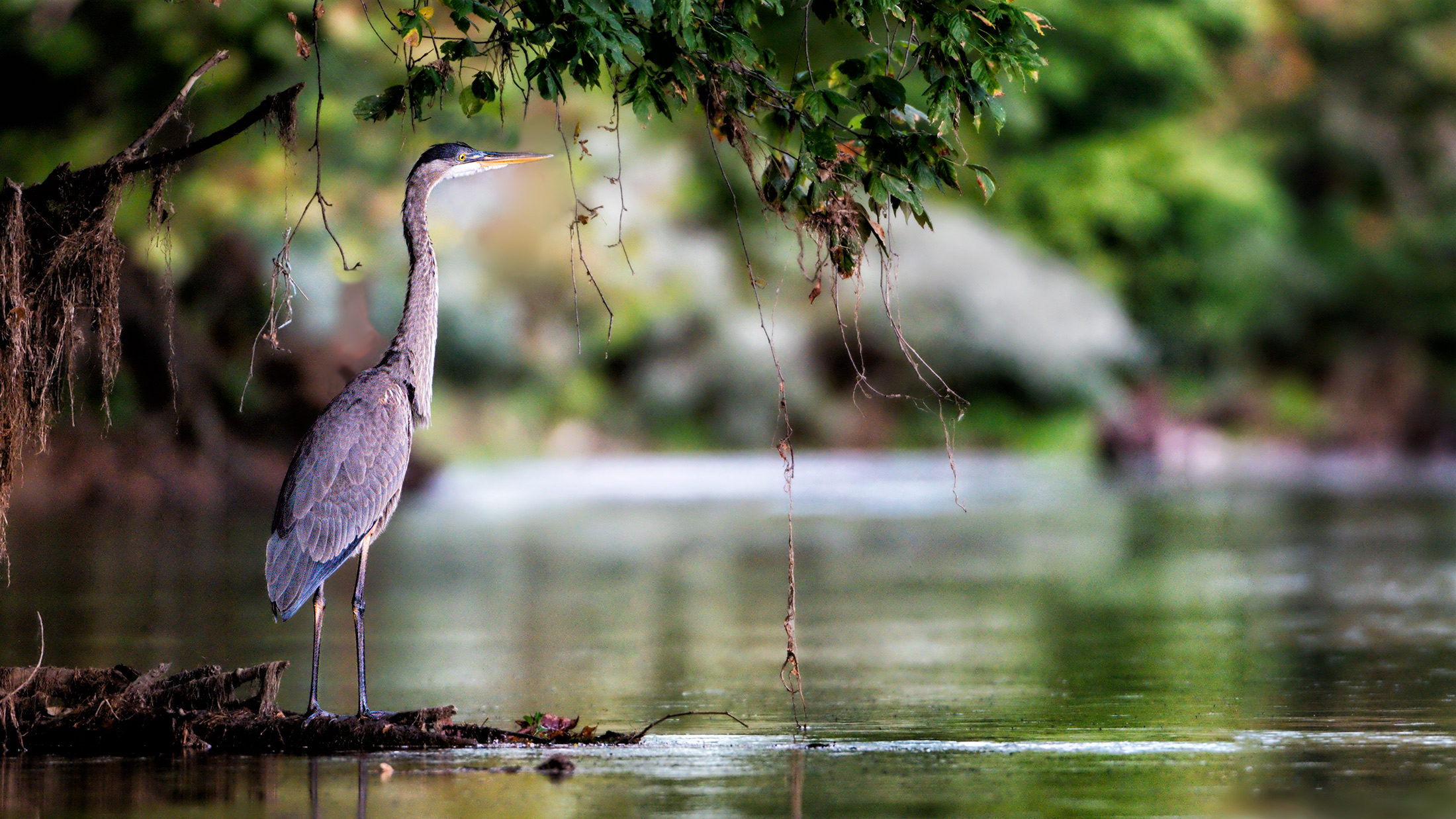 Reclusive Great Blue Heron