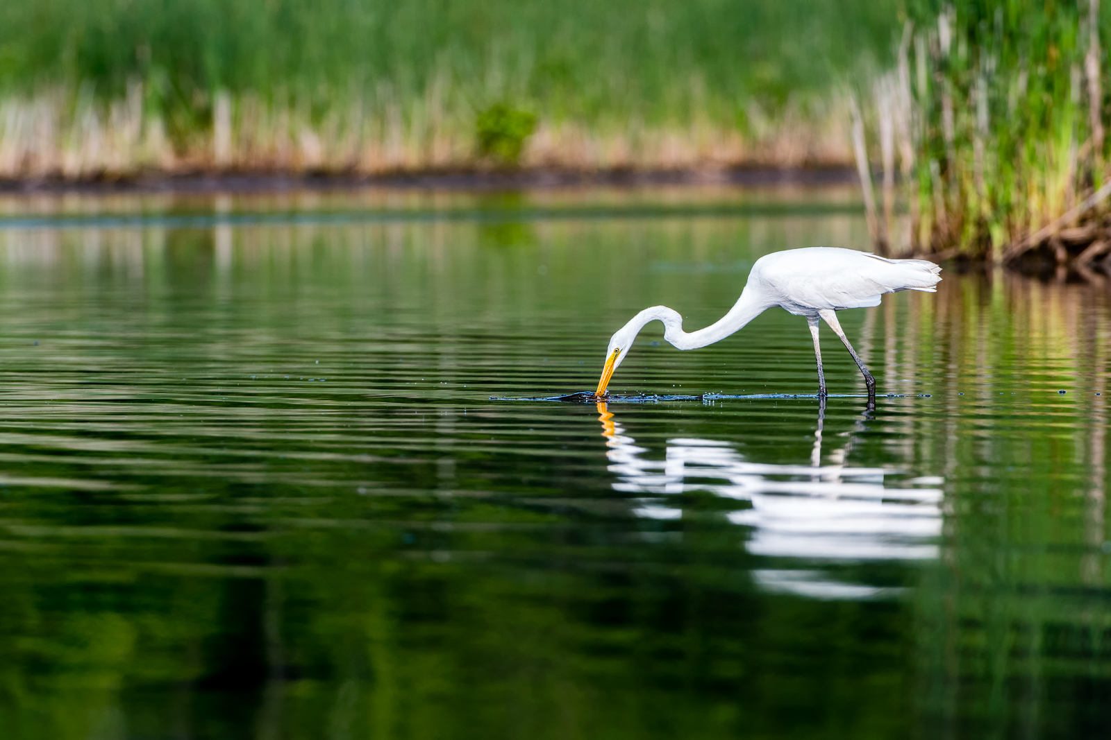 Great Egret Fishing for Breakfast