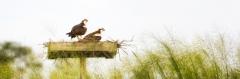 Nesting Osprey Pair
