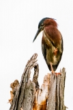 Green Heron on Perch