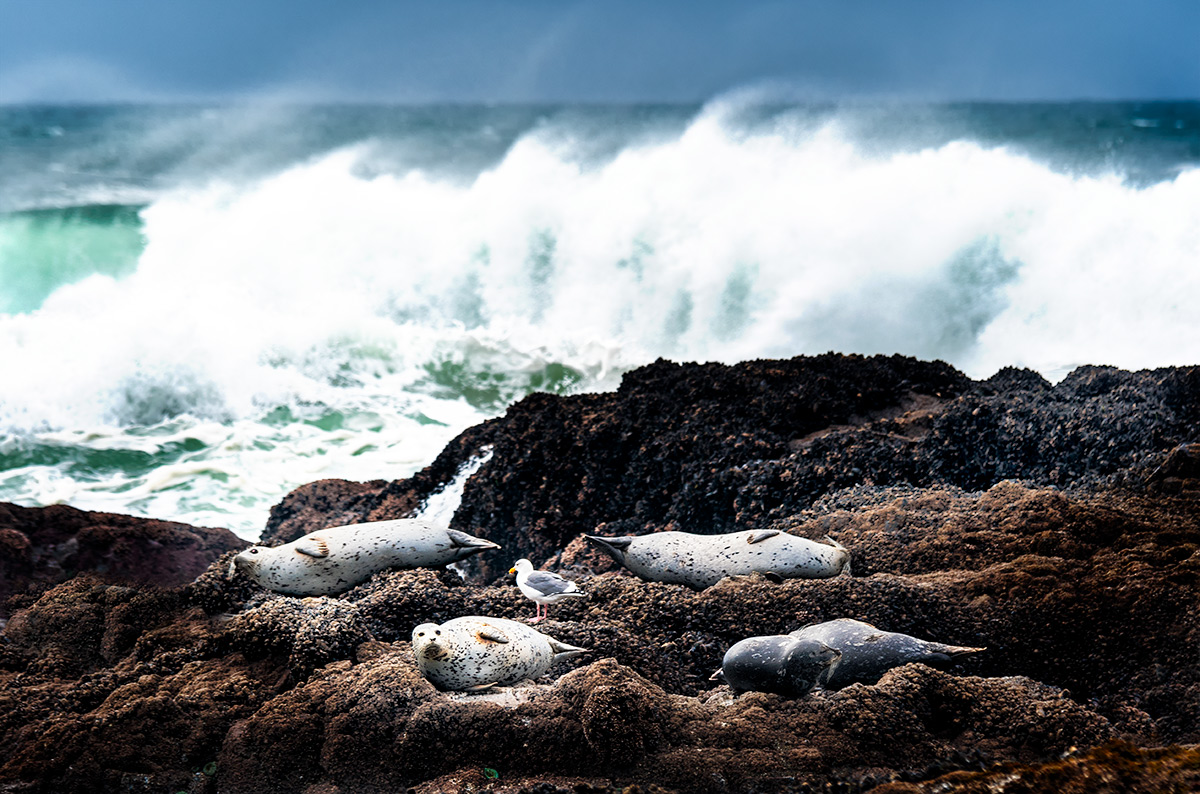 Oregon Coast Harbor Seals